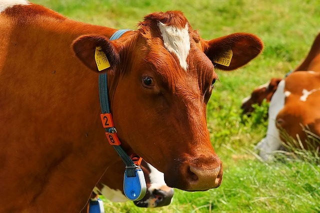 cow with electronic tag